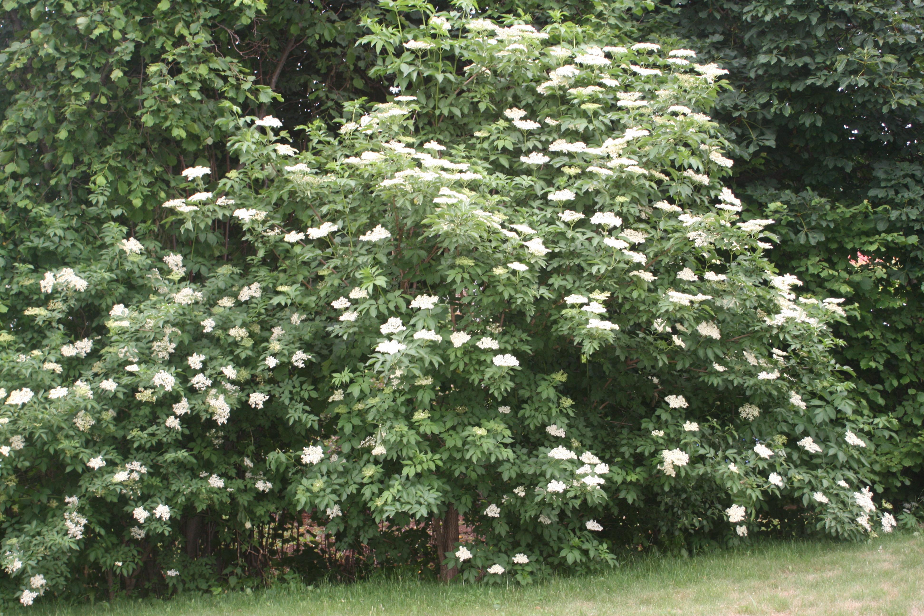 fläderbuske